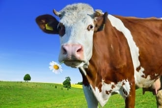 Why do cows live longer than birds - image for article by Greg Alder